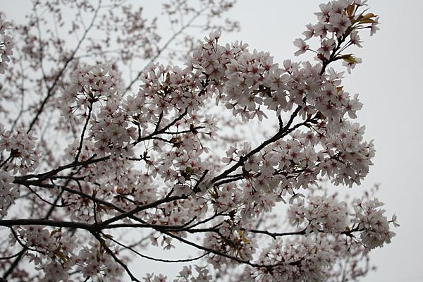 01 桜 のコピー