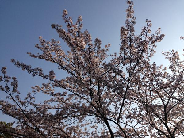 06今日の桜