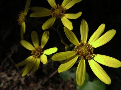 150108-21=ツワブキの花