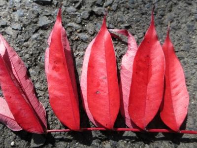 150123-12=ハゼノキ紅葉落葉