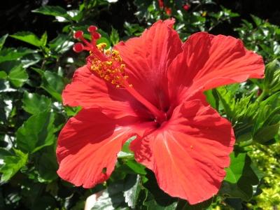 150502-5=ハイビスカスの花