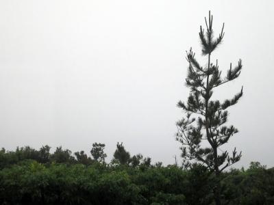 150503-210=松の木枝打by正剛