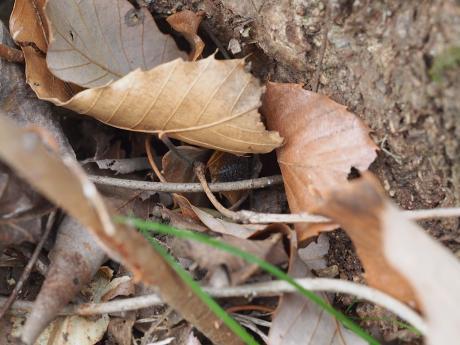 トホシテントウ幼虫