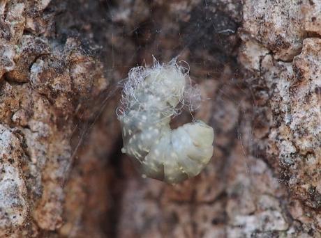 クモヒメバチの一種