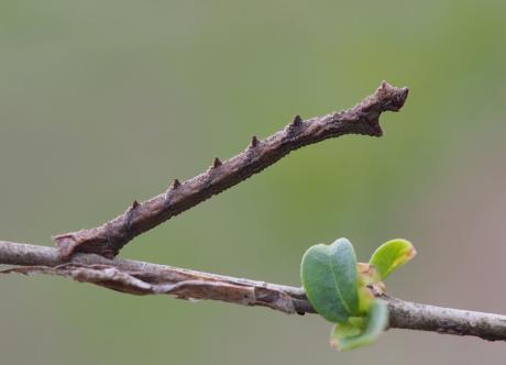 ヘリグロヒメアオシャク幼虫2