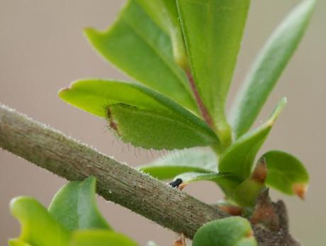 ウラゴマダラシジミ幼虫2