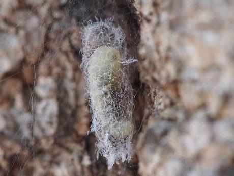 クモヒメバチ幼虫