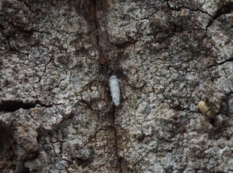 クモヒメバチ繭