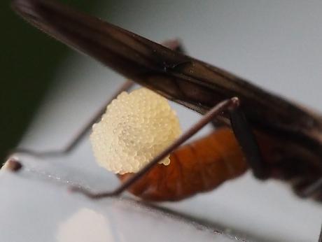 オナシカワゲラの一種