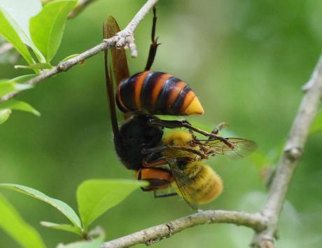 コガタスズメバチ&ヒメトラハナムグリ2