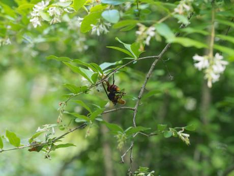 コガタスズメバチ&コマルハナバチ
