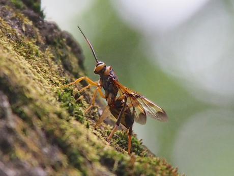 ニホンヒラタタマバチ
