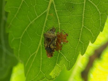 ヒメツノカメムシ&幼虫