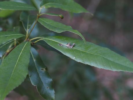 ウスギヌカギバ幼虫