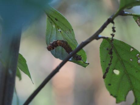 ウスギヌカギバ幼虫2