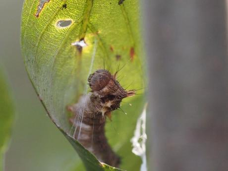 ウスギヌカギバ幼虫5