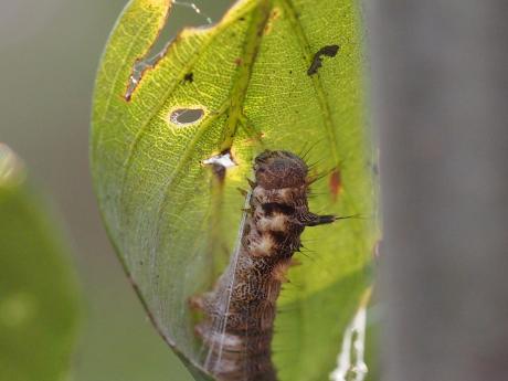 ウスギヌカギバ幼虫6