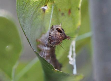 ウスギヌカギバ幼虫7