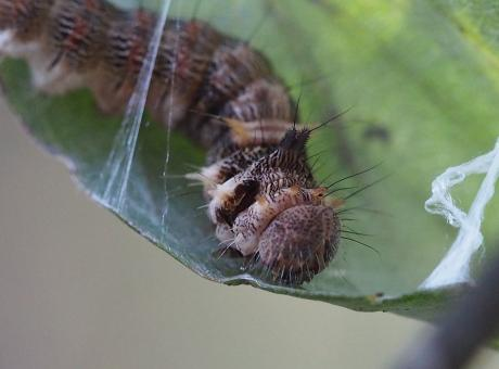 ウスギヌカギバ幼虫9