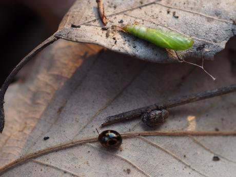 蛹&カサハラハムシの一種か&ニセクロホシテントウゴミムシダマシ