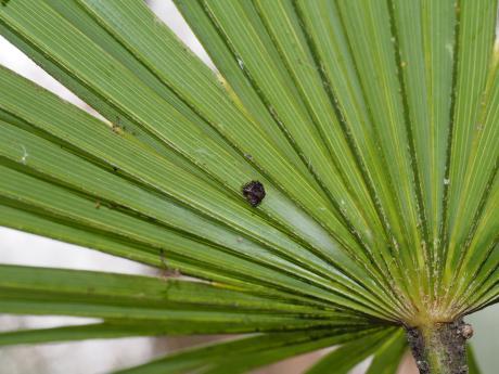 ワクドツキジグモ幼体3
