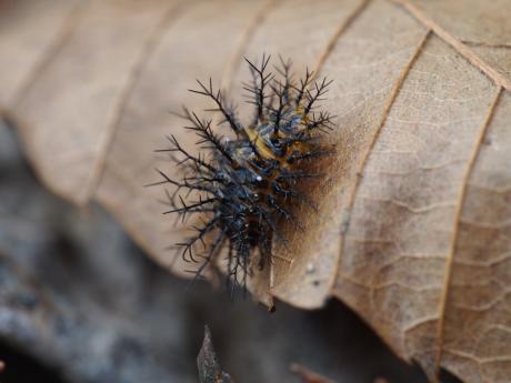 トホシテントウ幼虫2