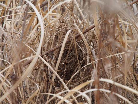 カヤネズミ巣