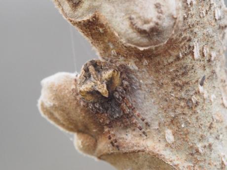 オニグルミ&オニグモの一種2