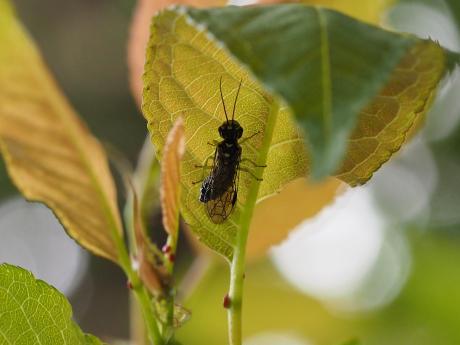 ハバチの一種4