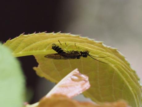 ハバチの一種8