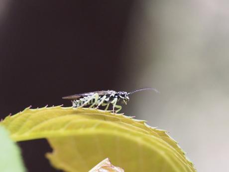 ハバチの一種11