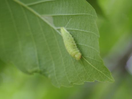 アカシジミ幼虫
