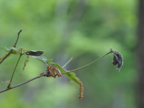 オオミドリシジミ幼虫