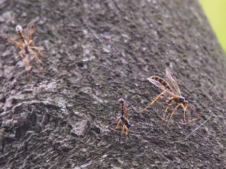 オナガバチの一種たち