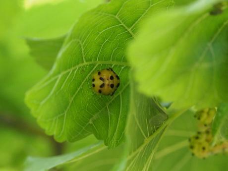 ハラグロオオテントウ蛹