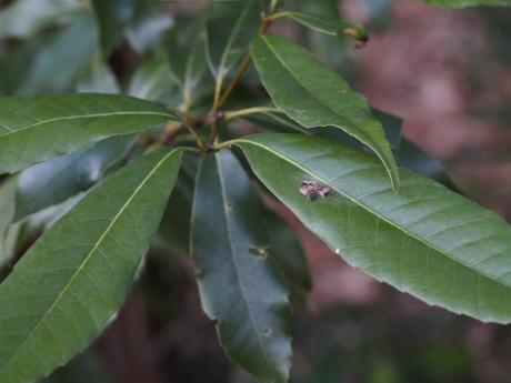 ウスギヌカギバ幼虫3
