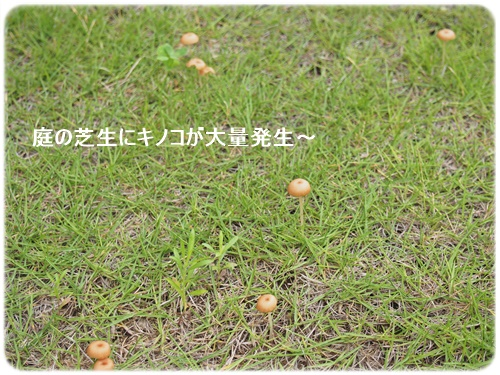 芝生のキノコ