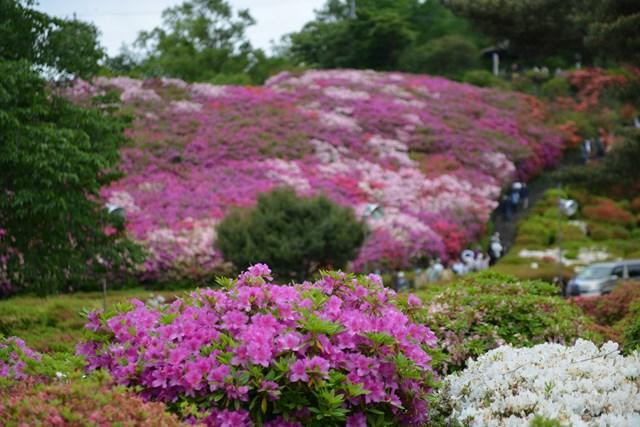 s-2015,5,5 伊豆と富士山芝桜デジイチ 017