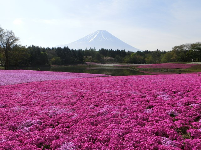 s-2015,5,5 伊豆と富士山芝桜2 023