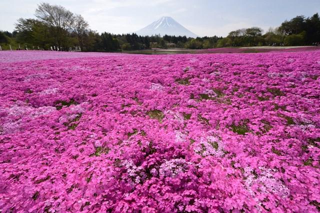 s-2015,5,5 伊豆と富士山芝桜2デジイチ 081