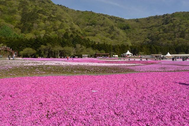 s-2015,5,5 伊豆と富士山芝桜2デジイチ 020