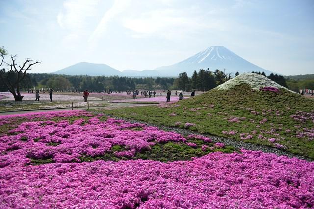 s-2015,5,5 伊豆と富士山芝桜2デジイチ 026