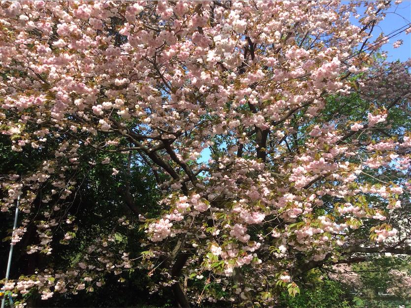 駒場I_八重桜_2015-0418