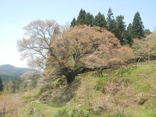 20150418_仏隆寺の千年桜