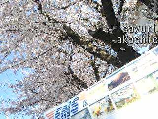 桜とEMSとアカシックレコードリーダーさゆり