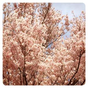 2015年の桜その4