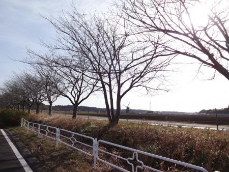 025佐倉ふるさと広場の風車、桜並木