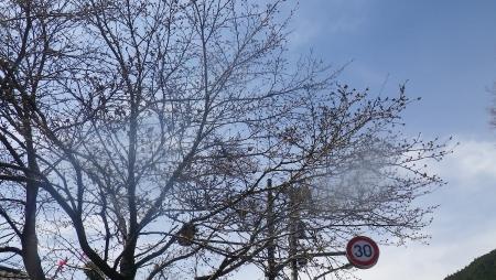 029都区内と違い、こちらの桜はまだ蕾
