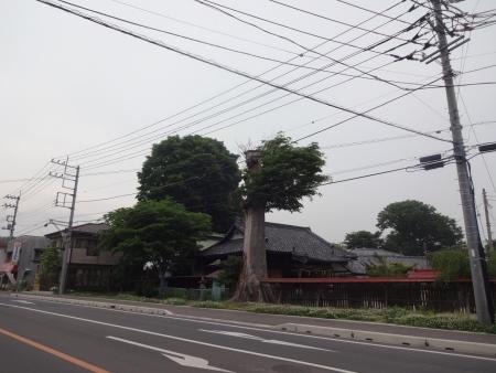 048笠間市の石井神社、変わった木、ご神木?