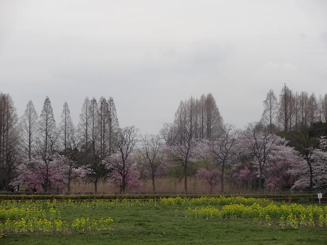 s-桜吹雪 (2)